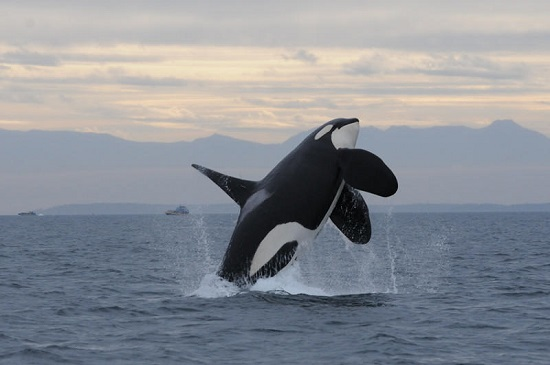 TAKE ACTION: Help save Southern Resident orcas!