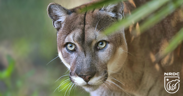 Photo of a panther